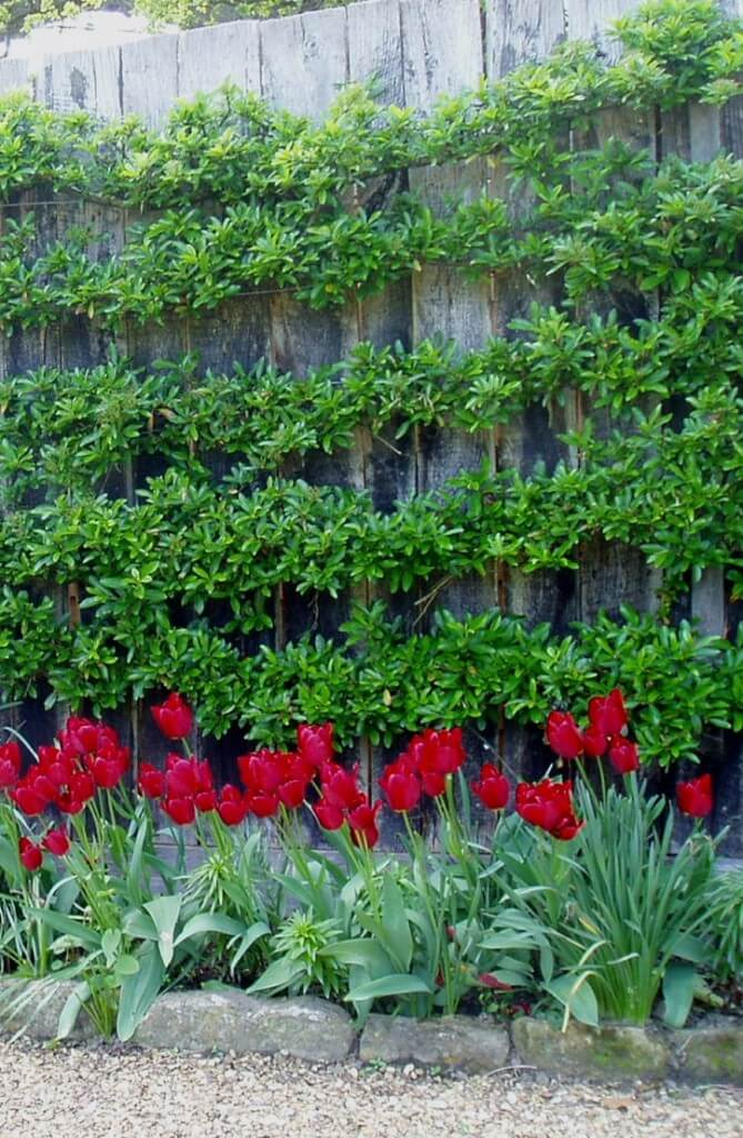 Fence with Pyracantha