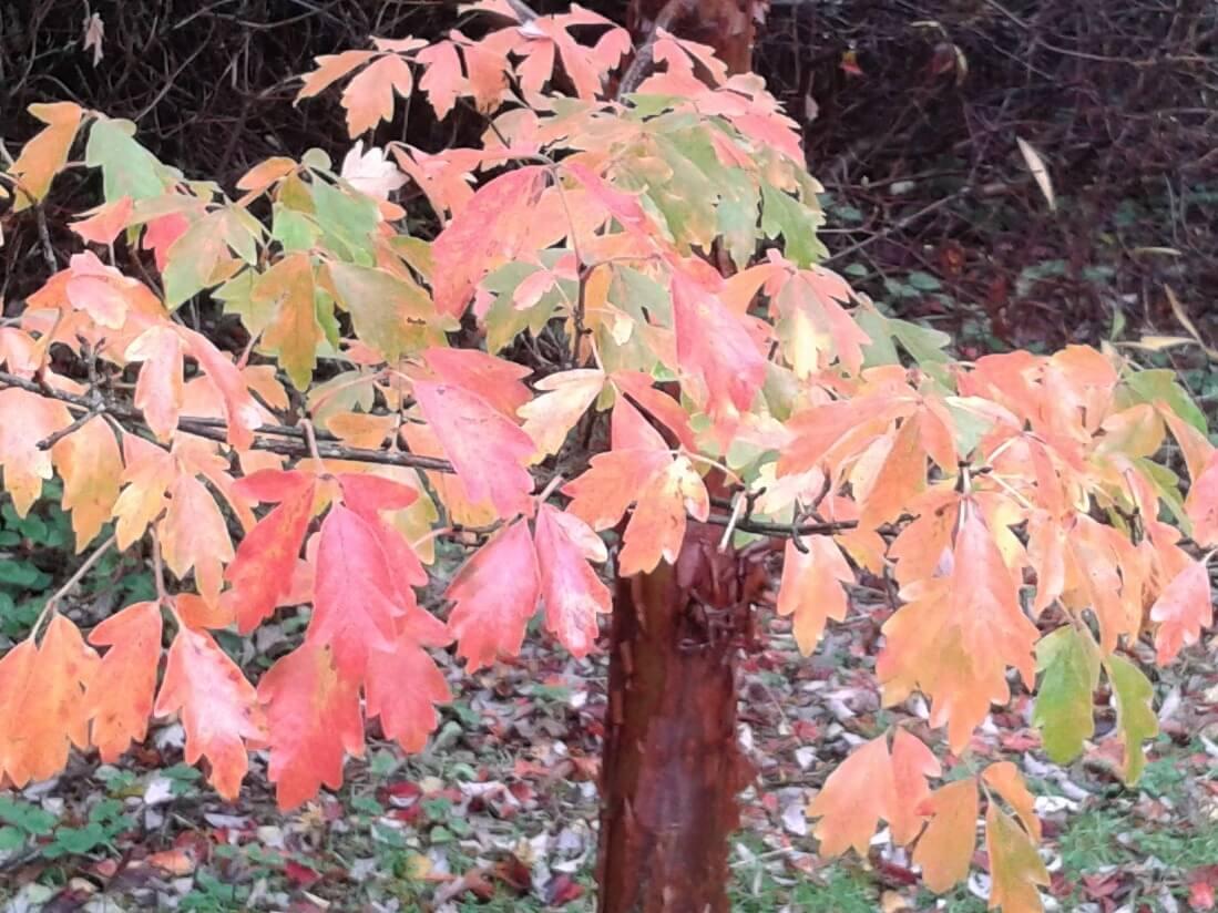 Photo of Acer griseum
