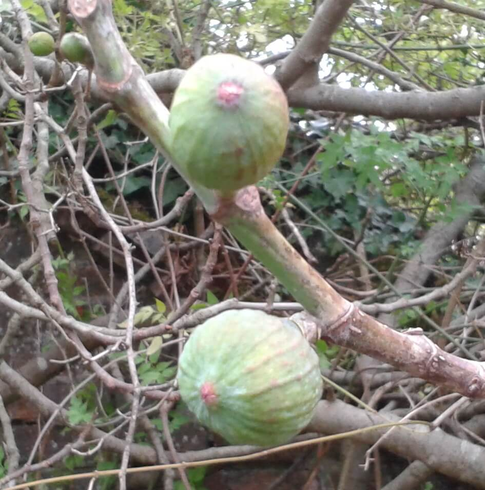 photo Figs in winter