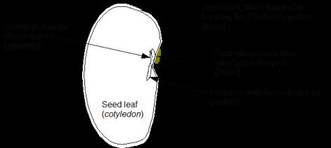 Bean structure