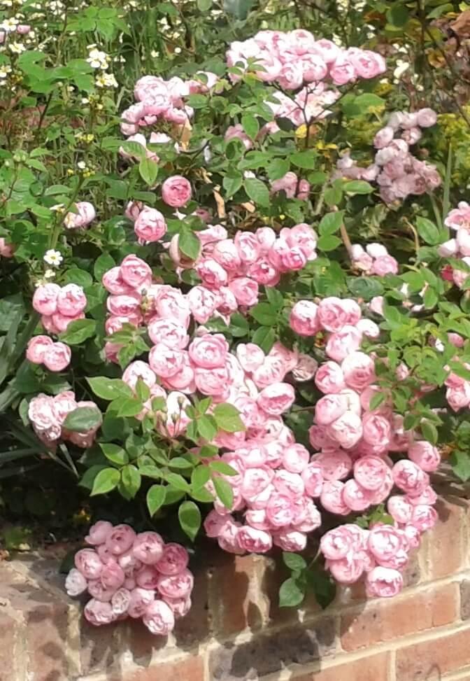 Rose Raubritter