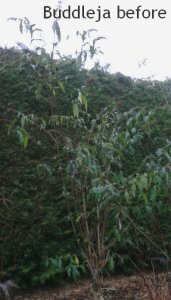 Buddleja before autumn pruning