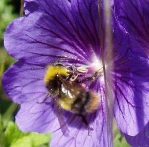 Bumble bee photo
