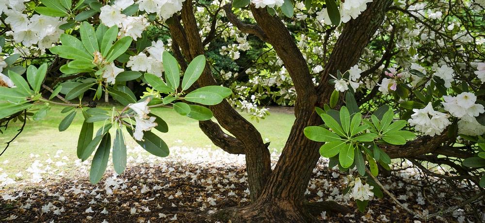White Rhododendron photo
