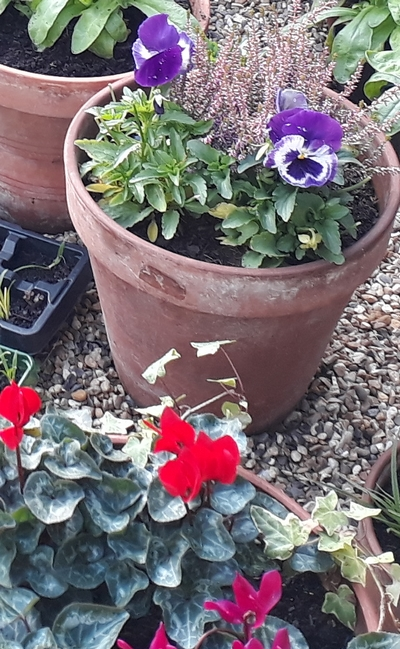 Pot with pansies photo