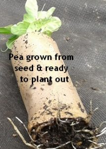 Pea seedling photo