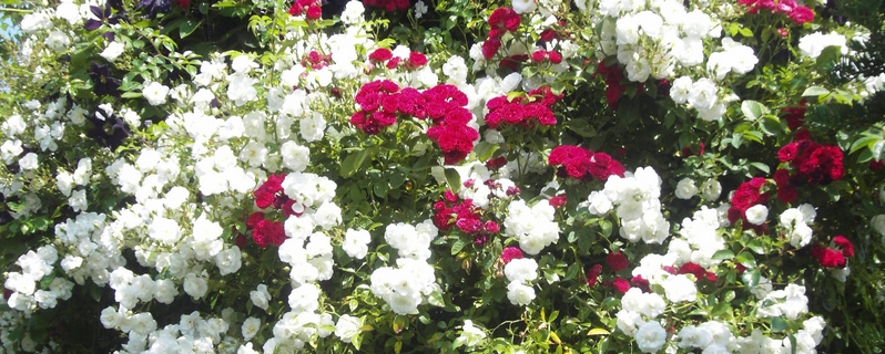 Red and white roses photo