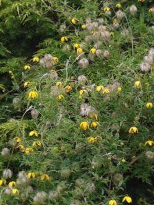 Clematis through Conifer photo