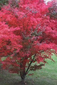 Small Acer photo