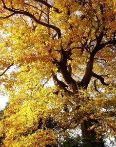 Beech tree photo