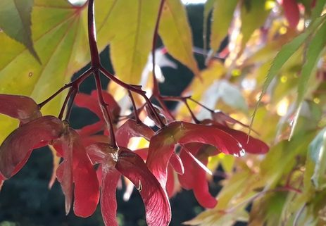 Acer seeds photo