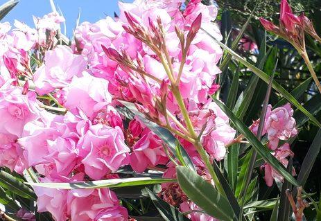 Oleander photo