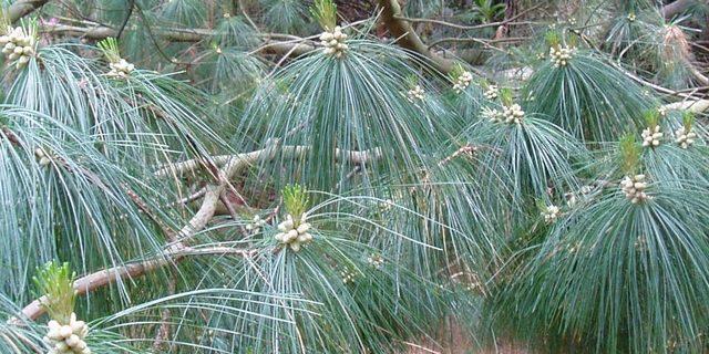 Conifer close up photo