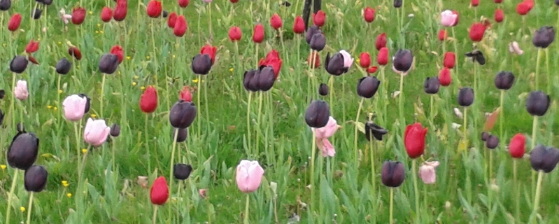Tulips in grass photo