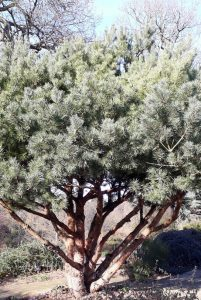 Grey conifer photo