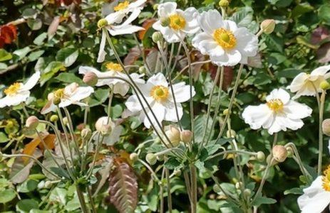 White japanese anemone flowers photograph